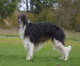 Estet Cl Ic  D B D  D  D B D B D B Borzoi Male Estet Cl Ic