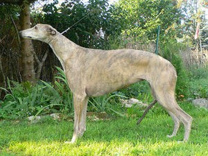 Greyhound_Gaysyde_Christmas_Magic