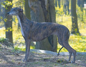 Greyhound_Hyperion_Midnight_Garden-_3big